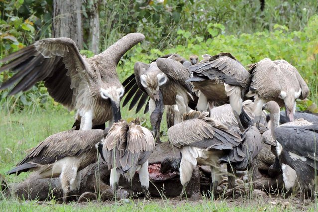 """This handout photograph taken on July 20, 2017 and released by Birdlife International on September 4, 2017 shows a flock of vultures feeding on an animal carcass provided by conservationists at a """"vulture restaurant"""", where observers can view the feasting birds from hides, at the Siem Pang Kang Lech Wildlife Sanctuary in Stung Treng province. Cambodia's vultures have seen a 50 percent decline in number from the late 2000s, with only 121 of the birds recorded in this year's national census, the lowest number on record since 2003. Recent reviews indicate that poisoning is the major threat to the country's vulture population. (Photo by AFP Photo/APA/Birdlife International)"""