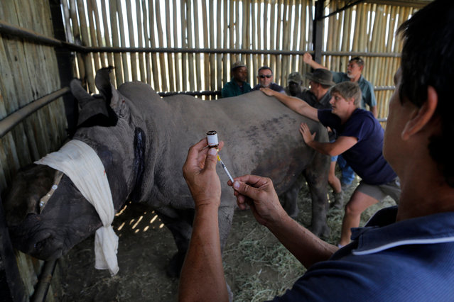 A local vet, who first treated the three-years-old White male Rhino Wasinda, prepares more drugs to tranquilize the Rhino to treat his terrible wounds left by poachers at a private game farm in the Free State Province, Clocolan, South Africa, 19 September 2017. (Photo by Kim Ludbrook/EPA/EFE)
