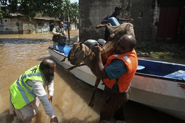 Pakistani rescue workers evacuate a goat from a flooded area following heavy monsoon rains in Wazirabad, some 100 kilometers (65 miles) north of Lahore, Pakistan, Sunday, September 7, 2014. The rains have triggered landslides and flash floods killing hundreds of people in large swathes of northern India and Pakistan, officials said Sunday. (Photo by K. M. Chaudary/AP Photo)