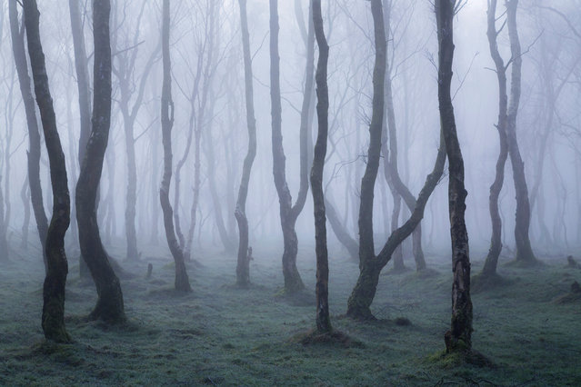 """Francis Joseph Taylor, wild woods category winner: A Magical Morning, Derbyshire. """"Thick fog drifted through the eerie silver birches at Bolehill Quarry in the Peak District national park, creating a magical morning of light"""". (Photo by Francis Joseph Taylor/British Wildlife Photography Awards 2017)"""