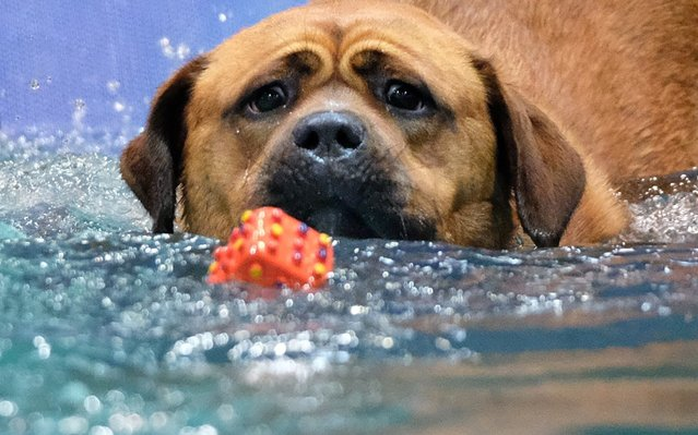 A mongrel swims toward a toy in a water basin at the World Dog Show in which 280 breeds from 73 nations are registered, in Leipzig, Germany, 12 November 2017. (Photo by Sebastian Willnow/DPA/Zentralbild)