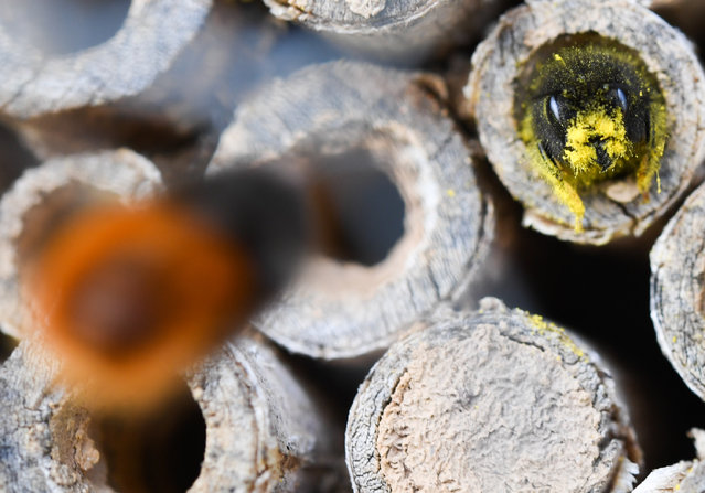 A mason bee deposits its collected pollen in an elderberry stick near Hessen, Germany on March 27, 2020. The food supply is sufficient for the eleven-month development of the brood from the egg to the finished bee. Wild bees are active in March and April and die before their offspring hatch. (Photo by Arne Dedert/dpa)