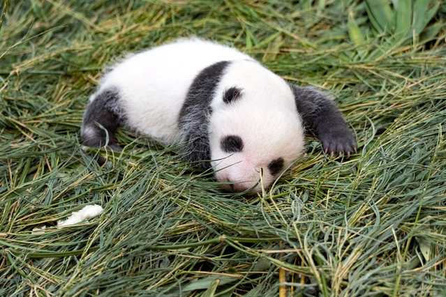 """A handout photo made available by the Taipei Zoo on 27 July 2020 shows the panda cub born at Taipei Zoo, on 25 July 2020 (issued 27 July 2020). On 27 July, Taipei Zoo invited the public to come up with a name for the panda cub, whose nickname is 'Rou Rou' (Softie). The cub was born on 28 June from a pair of giant pandas, Tuan Tuan (Male) and Yuan Yuan (Female), donated by China to the Taipei Zoo in 2008. Yuan Yuan delivered a female cub Yuan Tzai in 2013 and gave birth to her second baby """"Rou Rou"""" on 28 June 2020. (Photo by Tapei Zoo Handout/EPA/EFE)"""