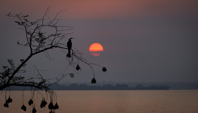A cormorant perches on a tree, from which hang the nests of weaver birds, as it looks out across Lake Ihema in search of fish to catch at dawn in Akagera National Park, Rwanda Monday, September 7, 2015. (Photo by Ben Curtis/AP Photo)