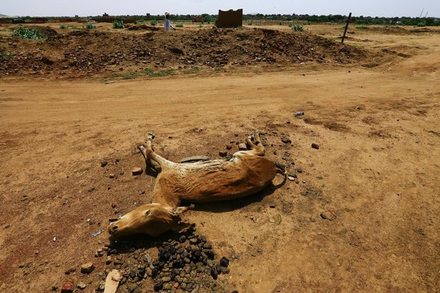 A man walks past a dead animal in Abu Shock IDPs camp in Al Fashir, capital of North Darfur, Sudan, September 6, 2016. (Photo by Mohamed Nureldin Abdallah/Reuters)