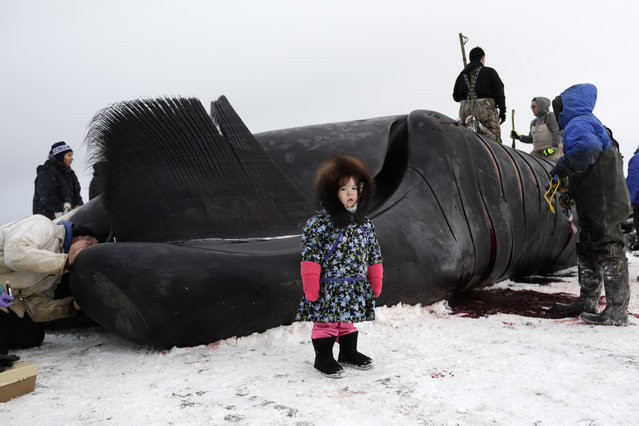 In this October 7, 2014, photo, Kendra Aiken stands wearing a parka made by her grandmother, as she poses for a picture for her parents in front of work on a bowhead whale in a field near Barrow, Alaska. Children of Barrow too small to help with the hooking and cutting, are still brought down to the whale, while family members point and explain the process. (Photo by Gregory Bull/AP Photo)