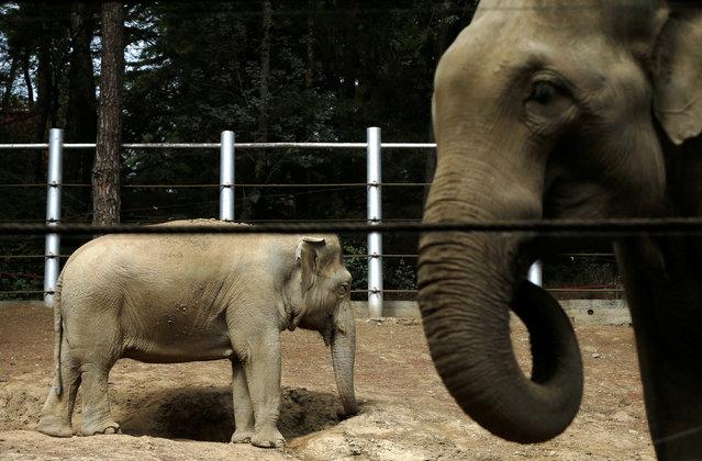 Elephants walk inside their enclosure at a zoo in Tbilisi, Georgia September 15, 2016. (Photo by David Mdzinarishvili/Reuters)