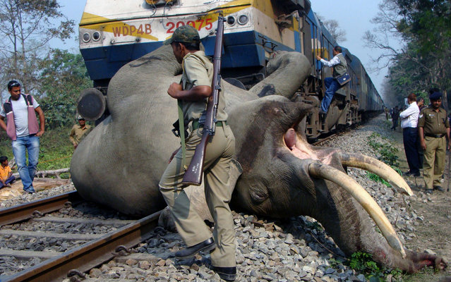 """The elephant pictured was killed after it was hit by a train in northeastern India on Tuesday,  March 5, 2013, according to NBC News. The train was inside the Buxa Tiger Reserve, an area that elephants pass through as they migrate between India and Bhutan. According to Indian Railway Minister, Pawan Kumar Bansal, """"Elephant corridors have been identified by the Forest Department and on such corridors speed restrictions have been imposed and signage boards provided to pre-warn the train drivers"""", he said. Bansal continued, """"In consultation with the Environment and Forest Ministry and the forest departments of state governments, Railways is also attempting to find a more lasting solution in the matter through deposit works consisting of measures such as construction of ramps and underpasses etc, the cost of which will be borne by the Forest Department"""". Despite these state-subsidized safeguards, statistics cited by The Times of India indicate that as many as 49 elephants may have been killed on train tracks since 2010. (Photo by STR/AFP Photo)"""