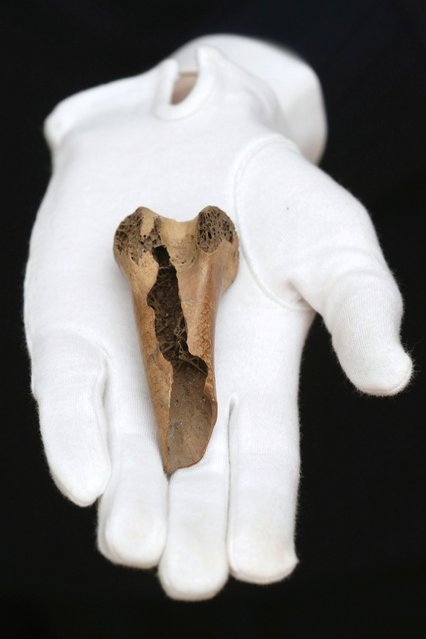 """An employee at Christie's auction house holds a rare fragment from a dodo's femur bone on March 27, 2013 in London, England. The extinct bird's bone is expected to fetch 15,000 GBP when it features in Christie's """"Travel, Science and Natural History"""" sale, which is to be held on April 24, 2013 in London. It is believed to be the first dodo bone that has come to auction since 1934. (Photo by Oli Scarff)"""
