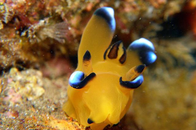 Thecacera Pacifica AKA Pikachu