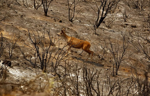 A deer scampers across the scorched landscape from the Springs fire in the mountains above Malibu on Friday. (Photo by Al Seib/Los Angeles Times/MCT)