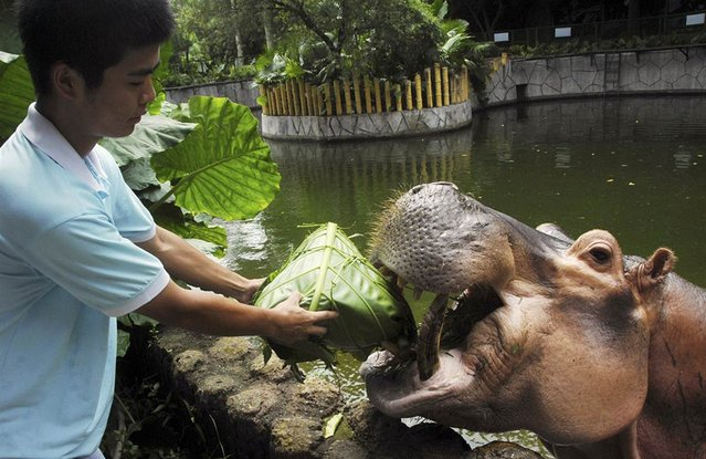 A zookeeper feeds a hippopotamus with forage wrapped in the shape of zongzi, a traditional Chinese food made from rice wrapped in bamboo leaves, to celebrate the upcoming Dragon Boat Festival at a wildlife Zoo in Shenzhen, China, on June 10, 2013. (Photo by China Daily/Reuters)