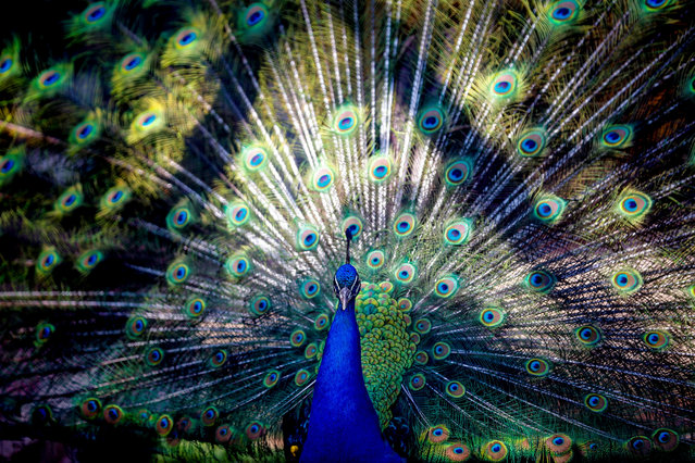 A peafowl is seen at a zoo in Turkey's Antalya province on May 31, 2018. Peafowls with their different types of colors attract people's attention. (Photo by Mustafa Ciftci/Anadolu Agency/Getty Images)