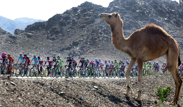 Cyclists in action during the third stage of the 2015 Dubai Tour in Dubai, United Arab Emirates, 06 February 2015. (Photo by Claudio Peri/EPA)