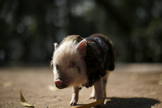 Chule, a six-month-old mini pig, looks at the camera in Mexico City, December 11, 2015. Mini pigs can grow to about 30 kg (66.1 lbs) in weight and about 35 cm (1.1 ft) in height, according to the company Mini Pigs Mexico. The company says that the mini pigs' popularity as pets is growing and around 300 are sold every year in Mexico, with prices ranging from $350 to $1,600. (Photo by Edgard Garrido/Reuters)