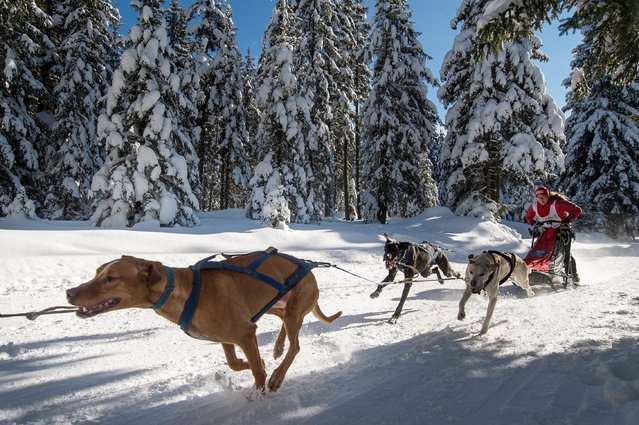 Sled dogs pull their musher Marte Heilemann of Norway during a  sled dog race in Szklarska Poreba, Poland, 07 February 2015. About 1,000 sled dogs take part at the Husqvarna Tour 2015 international race. During the three-day competition 100 teams will have to overcome the difficult many kilometers route. (Photo by Maciej Kulczynski/EPA)