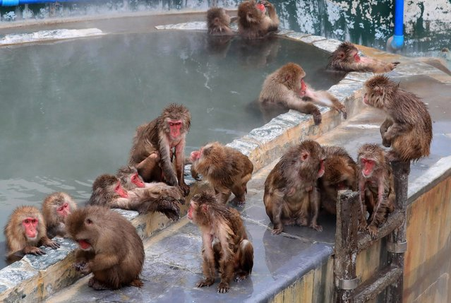 Japanese macaques gather around an outdoor hot spring bath at Hakodate Tropical Botanical Garden on December 1, 2016 in Hakodate, Hokkaido, Japan. (Photo by The Asahi Shimbun via Getty Images)