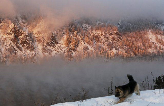 A dog runs along a bank of the Yenisei River in the Taiga district, with the air temperature at about minus 25 degrees Celsius (minus 13 degrees Fahrenheit) during sunset outside Krasnoyarsk, Siberia, Russia, January 11, 2016. (Photo by Ilya Naymushin/Reuters)