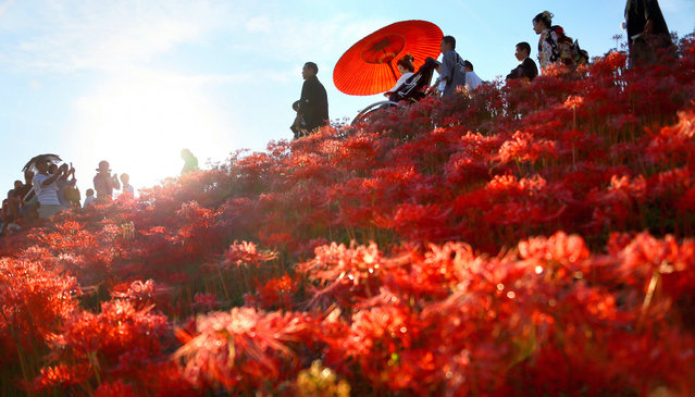 A newly wed couple and their family, relatives and friends march on the bank of Yakachi River where red spider lily are fully bloomed on September 29, 2013 in Handa, Aichi, Japan. (Photo by The Asahi Shimbun via Getty Images)