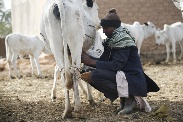 A tribal Fulani man milks a cow at a local milk collecting centre in Dangwala Karfi village on the outskirts of Nigeria's northern city of Kano January 19, 2016. (Photo by Akintunde Akinleye/Reuters)