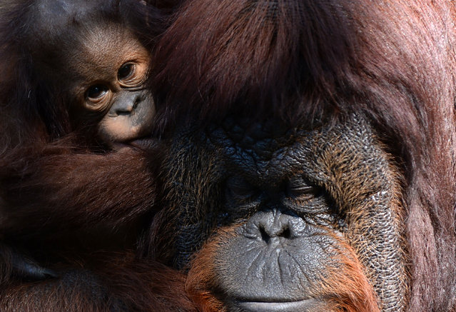 A baby orangutan named Ricky (L) clings onto its mother Akeefor at a zoo in Dehiwala, a suburb of the Sri Lankan capital Colombo, on January 4, 2019. (Photo by Lakruwan Wanniarachchi/AFP Photo)