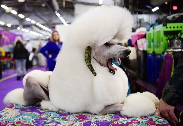 Standard Poodle named George yawns during the 143rd Westminster Kennel Club Dog Show at Piers 92/94 on February 11, 2019 in New York City. (Photo by Sarah Stier/Getty Images)