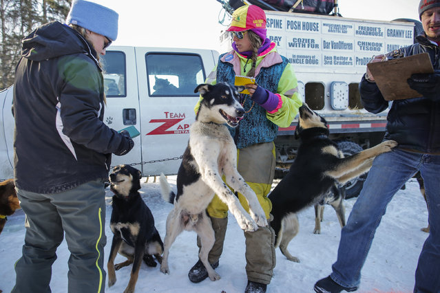 Musher Monica Zappa checks her dogs in with officials before the restart of the Iditarod Trail Sled Dog Race in Willow, Alaska March 6, 2016. (Photo by Nathaniel Wilder/Reuters)