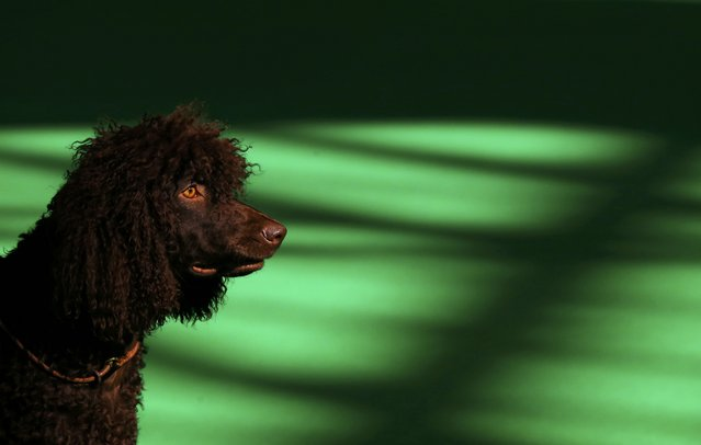An Irish Water Spaniel is shown during the second day of the Crufts Dog Show in Birmingham, Britain March 11, 2016. (Photo by Darren Staples/Reuters)