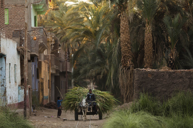 In this Wednesday, April 15, 2015 photo, a man carries sugarcane on a donkey cart, in Abu al-Nasr village, about 770 kilometers (480 miles) south of Cairo, Egypt. Salama Osman's day begins before the tenants of his Cairo apartment building wake and ends only after the last returns home at night, a work week without weekends. (Photo by Hiro Komae/AP Photo)