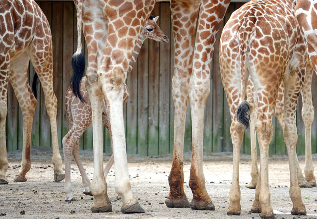 Memphis Zoo welcomes second new baby giraffe in less than one week. Wendy, a Memphis Zoo giraffe gave birth recently to a boy calf and his is name is Kiburi, which means precocious in Swahili. Within the same week, the zoo's 12-year-old giraffe Angela Kate gave birth her baby giraffe on April 9, 2019. These births bring the Memphis Zoo's reticulated giraffe herd to 11. Reticulated giraffes are considered endangered, with only 11,000 remaining in the wild and a population that is declining. Memphis Zoo, located in Memphis, Tennessee, is home to more than 4,500 animals representing more than 500 different species. (Photo by Karen Focht/ZUMA Wire/Shutterstock)