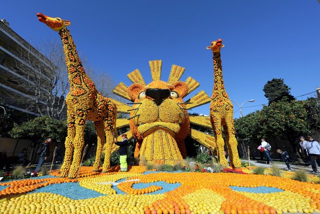 """A worker checks a sculpture made with lemons and oranges which depicts the musical comedy """"The Lion King"""" during the 84th Lemon festival around the theme """"Broadway"""" in Menton, France, February 15, 2017. (Photo by Eric Gaillard/Reuters)"""
