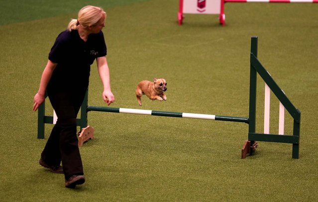 A small dog jumps over a fence in the Rescue Dog Agility show in the main arena on the first day of the Crufts Dog Show. (Photo by Matt Cardy/Getty Images)