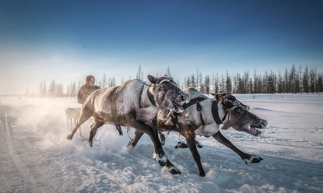 Take me away, deer, Russia. The Nenet people of Arctic Russia use reindeer and sledges as a prime mode of transport. The animals' navigational ability means that in severe conditions they are sometimes the only hope of survival. (Photo by Kamil Nureev/Smithsonian Photo Contest)
