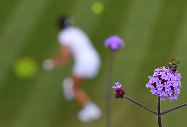 A bee extracts pollen from a flower as Taiwan's Hsieh Su-wei plays her second-round match against Belgium's Kirsten Flipkens at Wimbledon in London, England on July 3, 2019. (Photo by Toby Melville/Reuters)