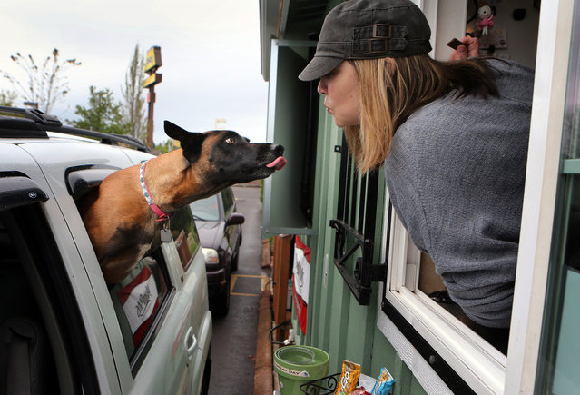 Una, a Belgian Malinois, left, offers a kiss to Kat Smith, owner of the The Greatful Grind, after getting a treat during a coffee stop by Una's owner Ayn Sales in the Gateway area of Springfield, Ore., Wednesday, April 23, 2014. A morning routine, Una starts whining as soon as the car turns onto Gateway Boulevard, according to Sales. (Photo by Chris Pietsch/AP Photo/The Register-Guard)