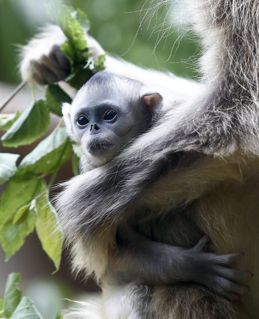 A young golden monkey (fifteen days old) rests in his mother's arms in South Korea's largest amusement park Everland in Youngin, Gyeonggi-province, South Korea, 20 May 2014. (Photo by Jeon Heon-Kyun/EPA)