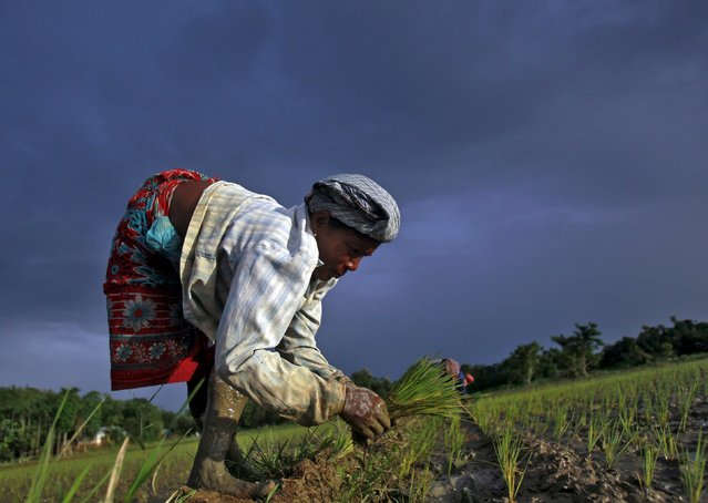 A farmer plants saplings in a paddy field on the outskirts of in Agartala, India, July 30, 2015. India is to buy oilseeds and pulses directly from farmers for the first time this year, in addition to its existing purchases of wheat and rice, to boost production and close a supply gap that has driven its annual import bill up to $12 billion. Picture taken July 30, 2015. (Photo by Jayanta Dey/Reuters)