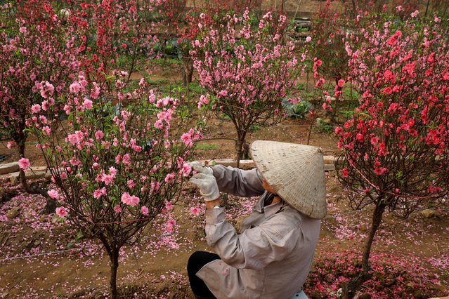 "A Vietnamese farmer waits for customers ahead of the Vietnamese ""Tet"" (Lunar New Year festival) in a peach blossom flowers field in Hanoi, Vietnam, January 21, 2020. (Photo by Reuters/Kham)"