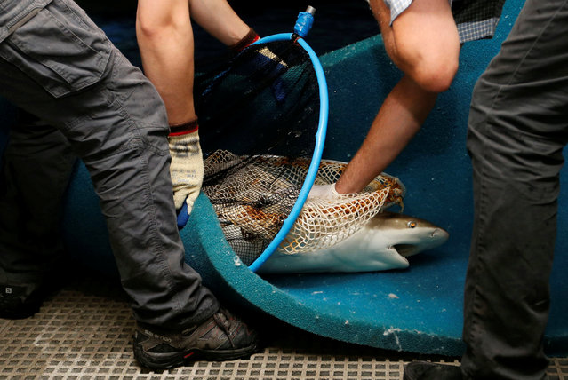 Biologists catch a pregnant female blacktip shark before its transfer to a private pool in preparation of it giving birth at the Aquarium of Paris, France, July 6, 2016. (Photo by Regis Duvignau/Reuters)