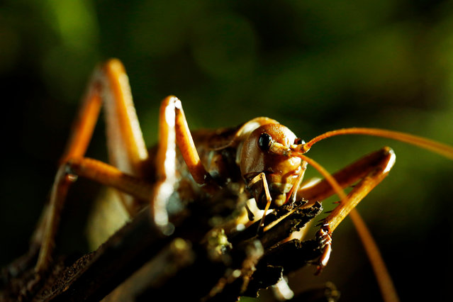 Giant weta are some of the heaviest insects in the world and a prehistoric speciality of New Zealand. They can weigh as much as a small bird. (Photo by Claire Thompson/BBC Pictures/The Guardian)
