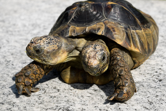 Janus, the Geneva Museum of Natural History's two-headed Greek tortoise, is photographed on the day of its 20th birthday, on September 3, 2017, in Geneva. Janus, named after the two-headed Roman god, was born on September 3, 1997 at Geneva's Natural History Museum from an egg that had been placed in an incubator. With two heads, the animal would not have survived in nature, but thanks to the attentive care of the museum, the tortoise has beat the previous records of longevity of a turtle with two heads in captivity, that lived only a few years. The star is pampered, enjoying a daily bath and pleasant sessions of UV allowing it to consolidate its shell thanks to an adequate level of vitamin D. (Photo by Fabrice Coffrini/AFP Photo)