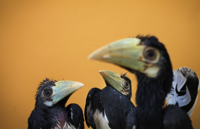 Three 2-month old Oriental Pied Hornbills are displayed at the Jurong Bird Park's Breeding and Research Center in Singapore, Friday March 8, 2013. These three birds were hatched after a successful artificial incubation at the bird park after their eggs were rescued on an off-shore island in Singapore. This is all part of the park's efforts in preserving and educating the public about its wildlife and wildlife reserves. (Photo by Wong Maye-E/AP Photo)