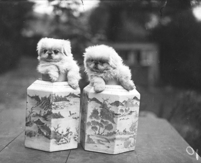 """Pekinese puppies posing in """"Ming"""" vases, circa 1950.  (Photo by Hulton Archive)"""