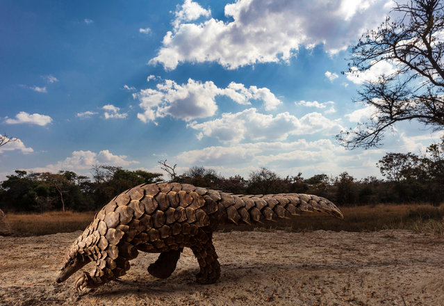"Pangolins in Crisis: Brent Stirton, South Africa; 1st place, Natural world and wildlife. ""Pangolins are the world's most illegally trafficked mammals, with an estimated one million trafficked to Asia in the last 10 years. Their scales are used in traditional Chinese and Vietnamese medicine, and their meat is sold as a high-priced delicacy. As a result, pangolins are listed as critically endangered and anyone who trades or consumes them is breaking the law. This body of work exposes the trade, while exploring aspects of illegality and celebrating the people who are trying to save these animals"". (Photo by Brent Stirton/Sony World Photography Awards 2020)"