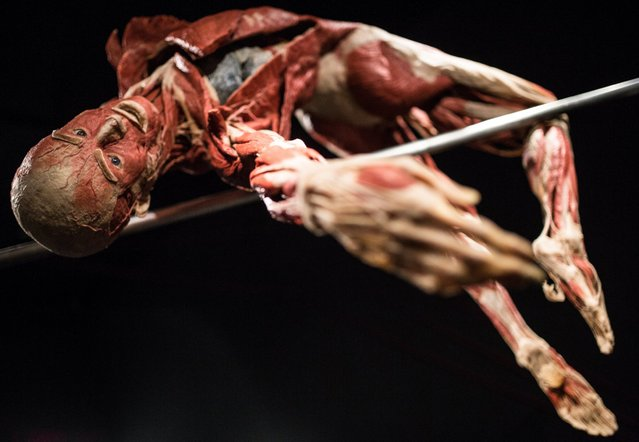 A plastinated body presented as a pole vaulter is exhibited at the Menschen Museum, Museum of Humans, in Berlin, August 29, 2016. The museum was caught up in a legal dispute with the district office of Berlin-Mitte for years before it was able to meet the requirements made by the court. (Photo by Sophia Kembowski/DPA Photo via Newscom)