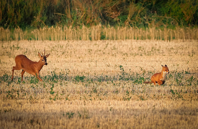 A deer hunts a fox in a harvested wheat field on July 20, 2020 near Chinon, central France. (Photo by Guillaume Souvant/AFP Photo)