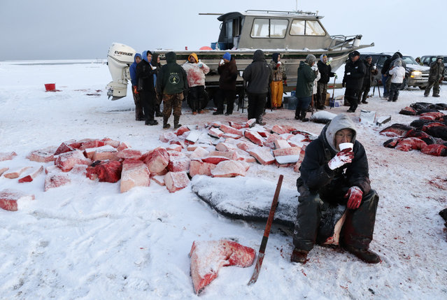 In this October 7, 2014, photo, a cutter takes a break and drinks a soup of boiled bowhead whale meat and blubber while butchering a whale in a field near Barrow, Alaska. As workers continue with the cutting and hooking of the whale blubber, others prepare a soup to warm the crews. (Photo by Gregory Bull/AP Photo)