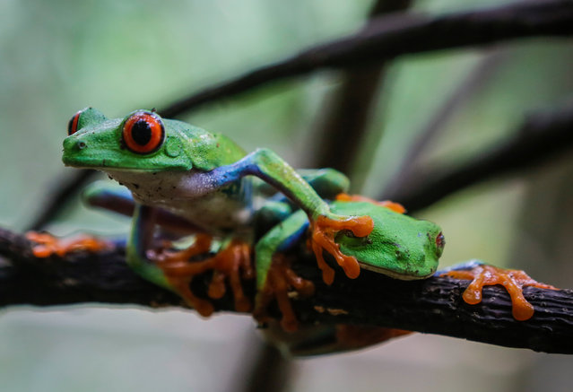 A Red-eyed green frog (Agalychnis callidryases) photographed at the Montibelli private wildlife reserve, in the municipality of Ticuantepe, 15km south of Managua, on September 9, 2016. (Photo by Inti Ocon/AFP Photo)