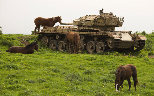 Horses roam near a former Israeli tank in a field along the border between Syria and Israel, in the Golan Heights on March 8, 2013. (Photo by Jack Guez/AFP Photo)