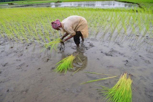A farmer plants paddy sapling at a field after flood water decreased in Jamalpur District, Bangladesh, on September 24, 2020. (Photo by Mamunur Rashid/NurPhoto via Getty Images)